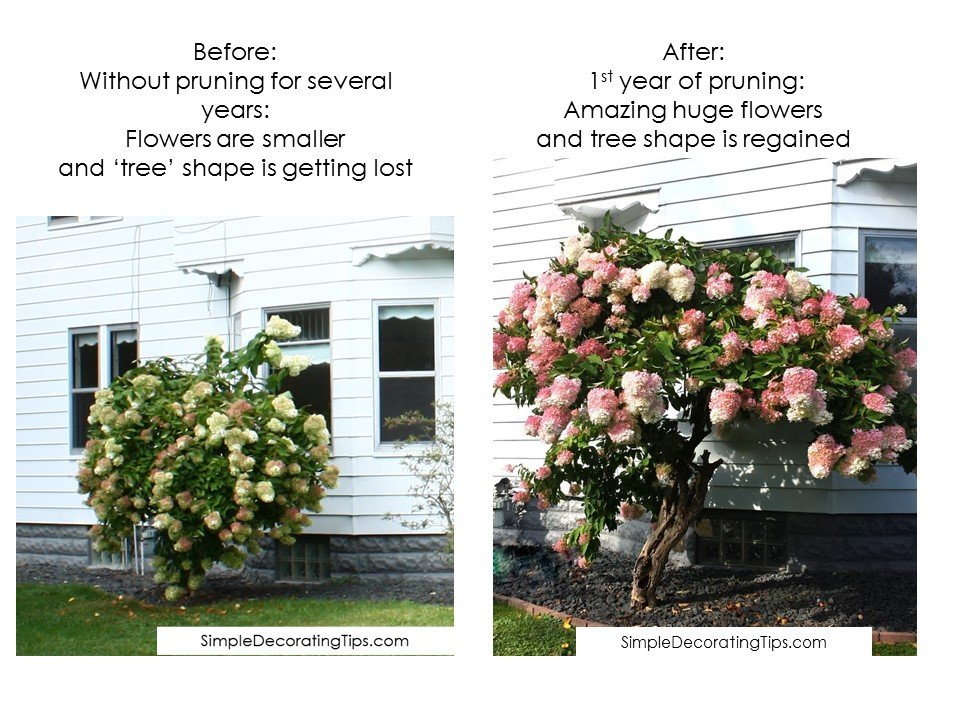 SimpleDecoratingTips.com before and after pruning difference