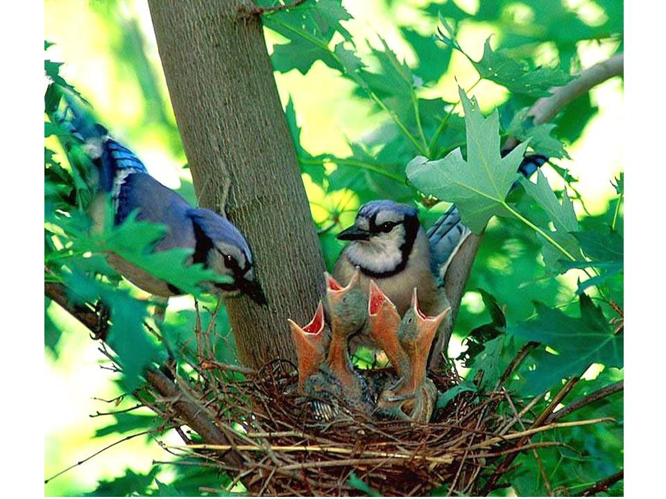 HometoCottage.com baby blue jays