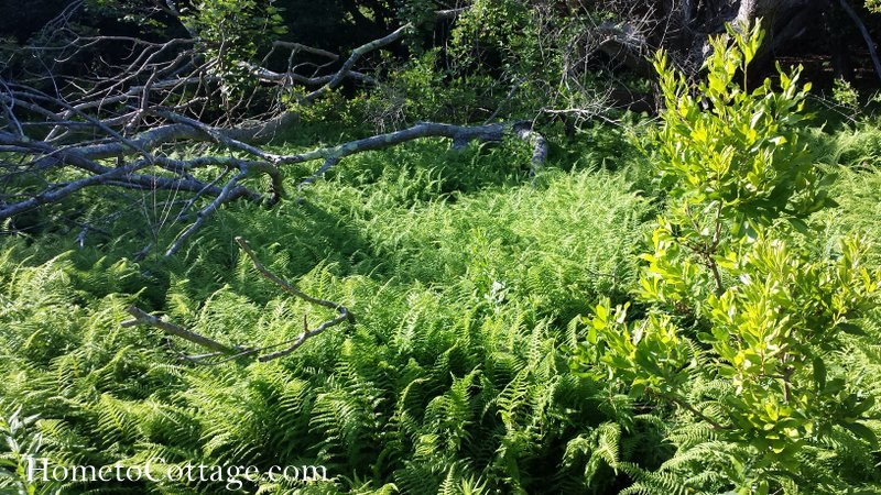 HometoCottage.com bed of ferns in the woods