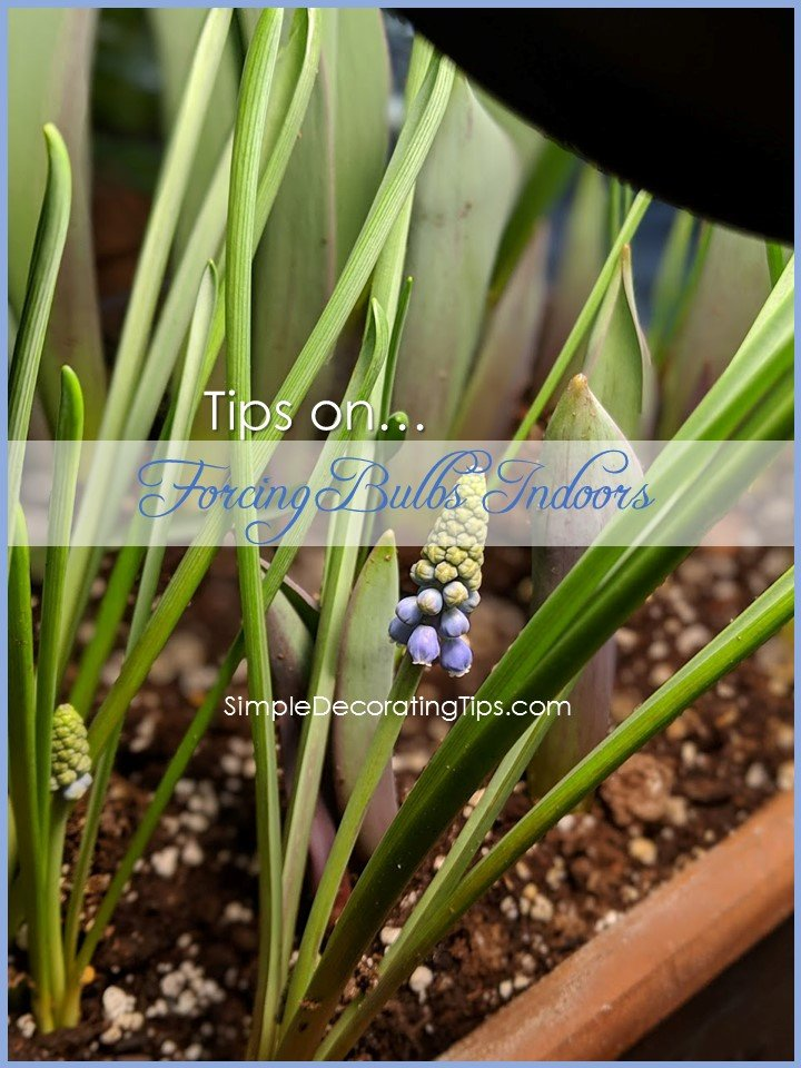 Tips on Forcing Bulbs Indoors - SIMPLE DECORATING TIPS