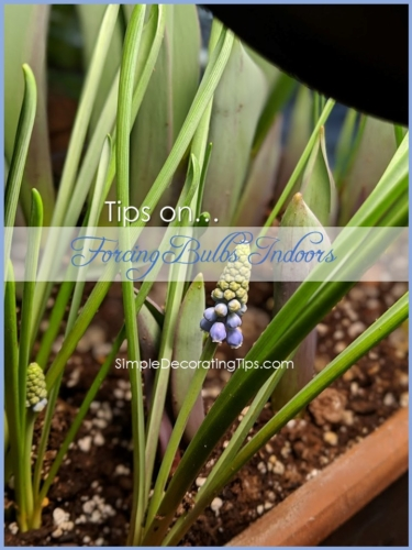 Tips on Forcing Bulbs Indoors